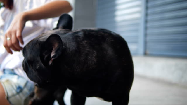 adorable black french bulldog enjoys being petted playing with young happy asian woman on the street. - off leash dog park stock videos & royalty-free footage