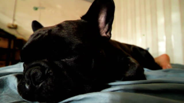 adorable black french bulldog enjoys sleep with asian woman on the bed. concept: pet, funny , life - pet bed stock videos and b-roll footage