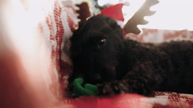 adorable dog chewing reindeer antlers on christmas morning - antler stock videos & royalty-free footage