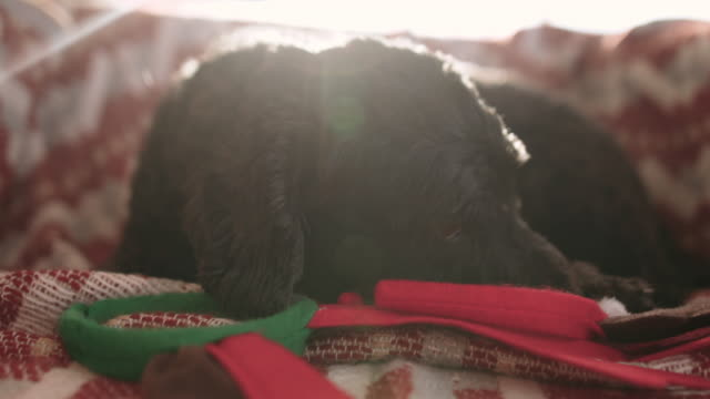 adorable dog chewing reindeer antlers on christmas morning - chewing stock videos & royalty-free footage