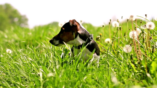 Adorable dog in a dandelion field