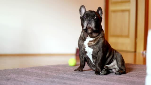vídeos y material grabado en eventos de stock de adorable bulldog francés - perro cazador