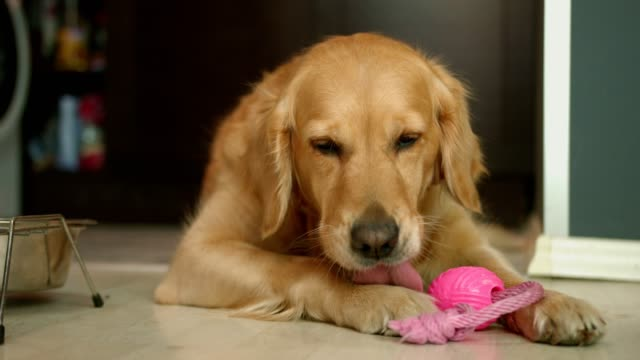 Adorable golden retriever dog laying on the floor and licking it's paw