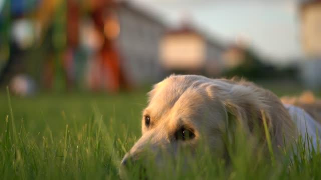 adorable golden retriever dog lying on green lawn in park - golden retriever stock videos & royalty-free footage