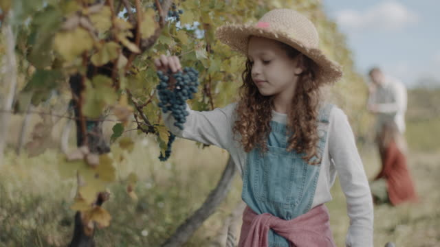adorable little girl harvesting grapes - choosing stock videos & royalty-free footage
