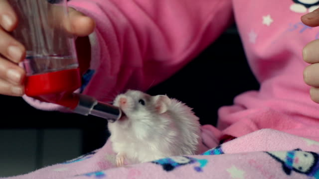 adorable little white hamster on the legs of a little girl drinking from a drinker held by the girl. - niños stock videos & royalty-free footage