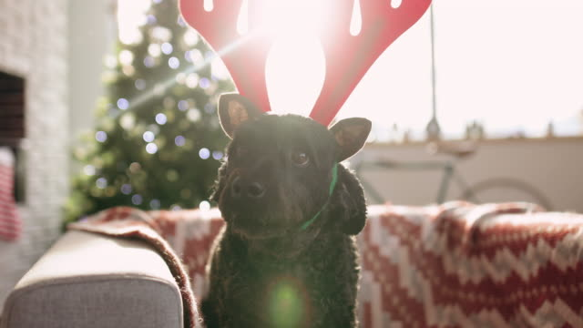 adorable puppy with reindeer ears catching some food - dressing up stock videos & royalty-free footage