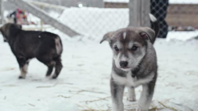 vidéos et rushes de cu adorable chiot de chien de traîneau, reniflant la caméra - chien de traîneau