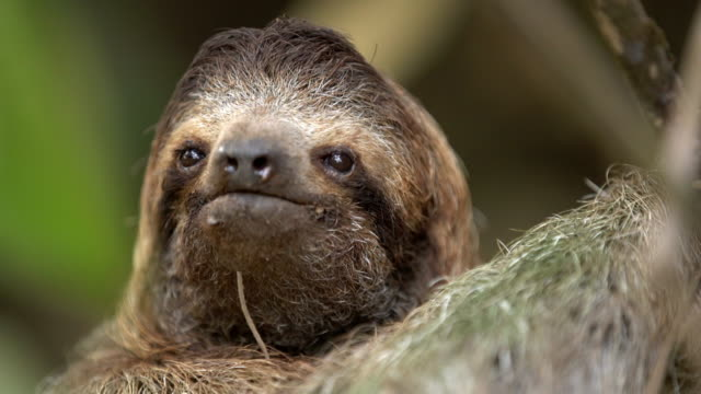 cu adorable sloth on a tree - costa rica stock videos & royalty-free footage