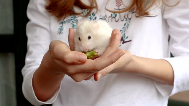 adorable syrian hamster eating broccoli in the hands of a girl - niños stock videos & royalty-free footage