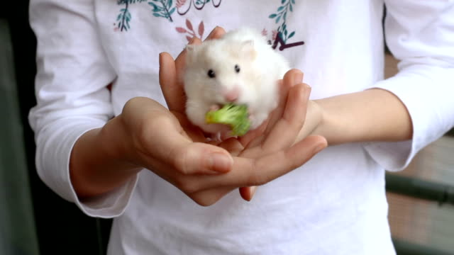 stockvideo's en b-roll-footage met adorable syrian hamster reaching and eating broccoli in the hands of a girl - voeren