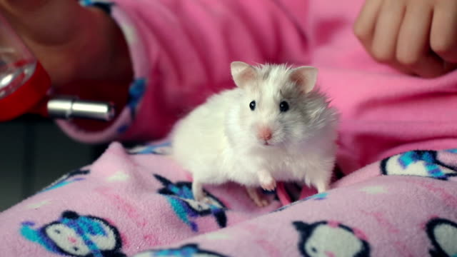 adorable white hamster on the legs of a girl in pajamas - niños stock videos & royalty-free footage