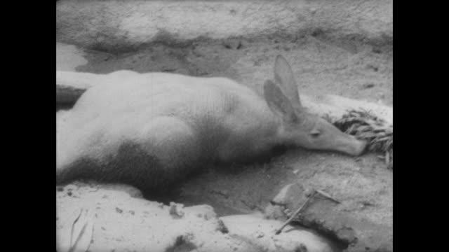 Adult aardvark in pen / baby aardvark standing in the grass / CU alligator / CU lynx / baby aardvark scrabbling on shoe of camera operator / CU...