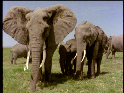Adult African elephants stare at camera flapping huge ears small elephant calves white birds in background on grass