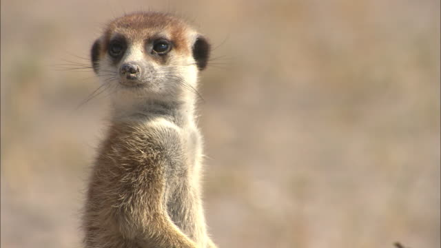 cu, td, adult and baby meerkat standing in sand of desert, side view, south africa - fare la guardia video stock e b–roll
