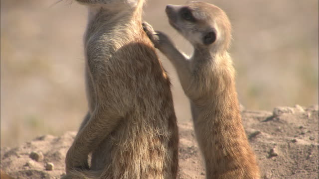 CU, Adult and baby meerkat standing in sand of desert, South Africa