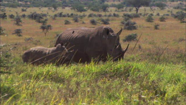 vídeos de stock, filmes e b-roll de ms, adult and baby rhino standing in field of grass, africa - dente animal