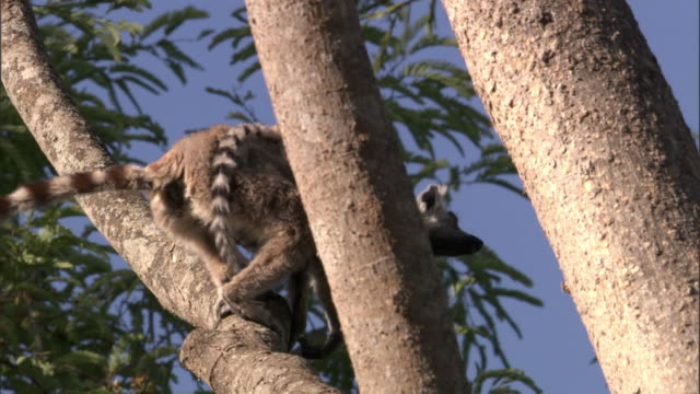 adult and baby ring tailed lemurs (lemur catta) leap from tree, madagascar - キツネザル点の映像素材/bロール