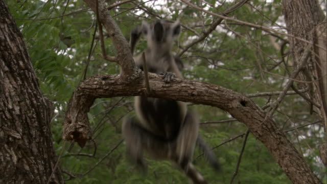 Adult and baby ring tailed lemurs (Lemur catta) leap through trees, Madagascar