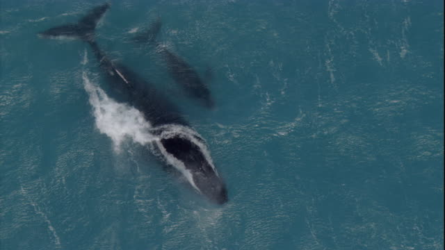 adult and calf humpback whales rise to the surface of the ocean. available in hd. - calf stock videos and b-roll footage