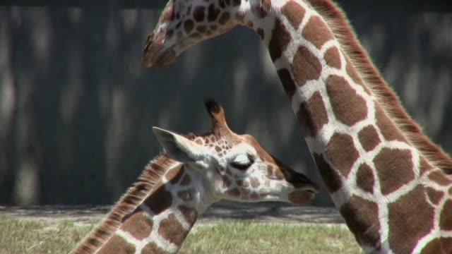 CU Adult and infant Reticulated Giraffes (Giraffa camelopardalis reticulate), San Francisco Zoo, California, USA
