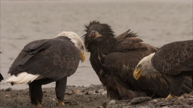 adult and juvenile bald eagles gather on a rocky riverbank. - young animal stock videos & royalty-free footage
