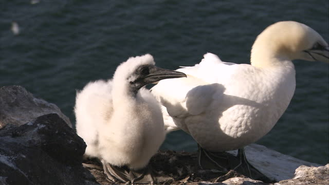 ms cu adult and juvenile gannet in nest / bass rock, firth of forth, scotland - firth of forth stock videos & royalty-free footage
