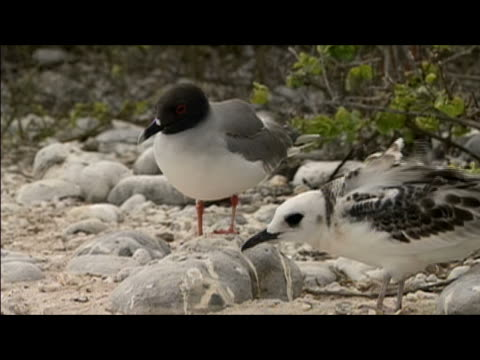 adult and juvenile swallow-tailed gulls (creagrus furcatus) standing on windy beach / genovesa island, galapagos islands - swallow tailed gull stock videos & royalty-free footage