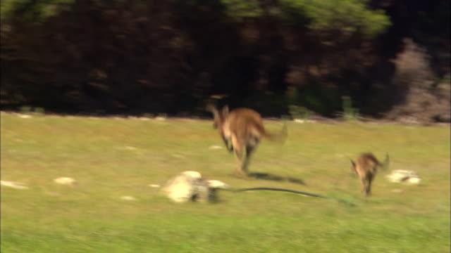 MS, TS, Adult and  young kangaroos hopping through grassy field, Kangaroo Island, Australia