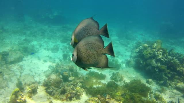 angelfish 、大人のカップルのカリブ海。 - エンゼルフィッシュ点の映像素材/bロール