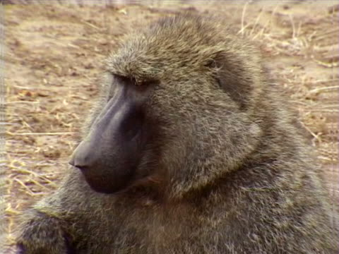 adult baboon - artbeats stock videos & royalty-free footage