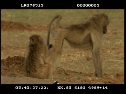 ms 2 adult baboons (papio cyanocephalus), one grooming another, baby walking between them - erezione video stock e b–roll
