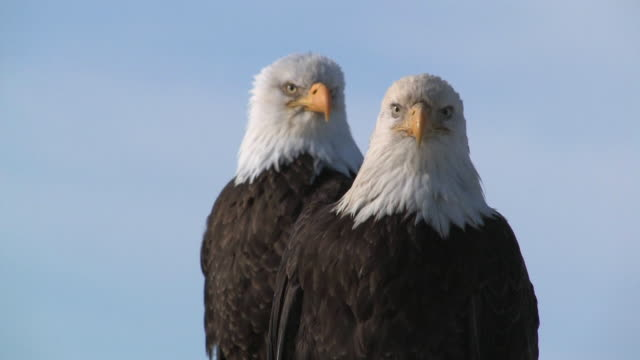 adult bald eagles white-tailed standing on a tree - homer alaska stock videos & royalty-free footage