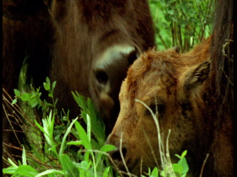 adult bison licks new born calf, montana - geburt stock-videos und b-roll-filmmaterial
