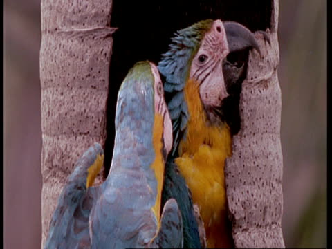 cu adult blue and yellow macaw preening young in tree trunk nest, tilt down to 2nd nestling, south america - 毛づくろい点の映像素材/bロール