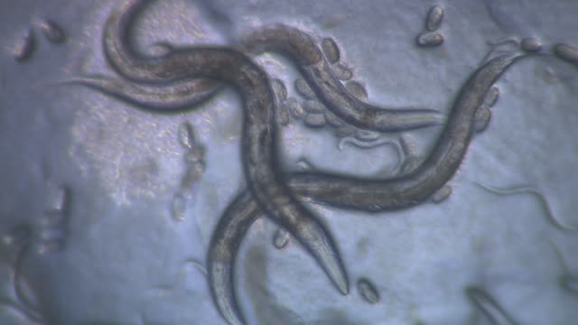 adult caenorhabditis elegans nematode with eggs - dna test stock videos and b-roll footage