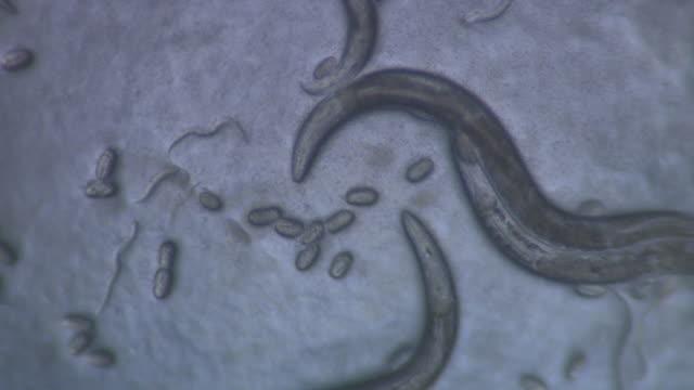 Adult Caenorhabditis elegans nematode with eggs