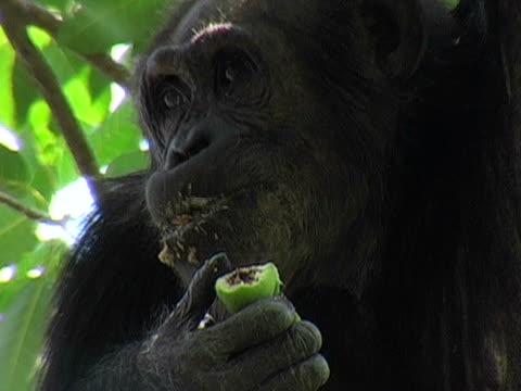 vídeos y material grabado en eventos de stock de cu, adult chimp (pan troglodytes) eating fruit, gombe stream national park, tanzania - parque nacional de gombe stream