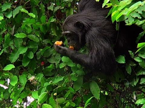 ZI, CU, Adult chimp (Pan troglodytes) eating fruits on tree, Gombe Stream National Park, Tanzania