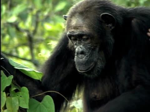 CU, Adult chimp (Pan troglodytes) eating leaves, Gombe Stream National Park, Tanzania