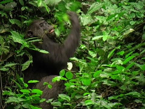 MS, Adult chimp (Pan troglodytes) eating leaves on tree, Gombe Stream National Park, Tanzania