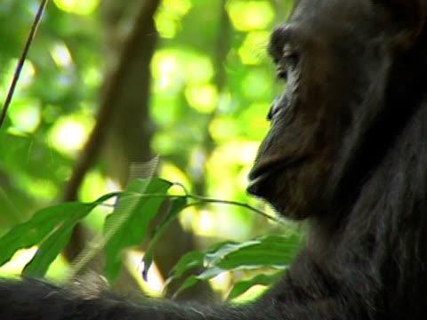 CU, Adult chimp (Pan troglodytes) eating vine strips, Gombe Stream National Park, Tanzania