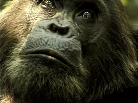 vídeos de stock, filmes e b-roll de cu, zo, adult chimp (pan troglodytes) , gombe stream national park, tanzania - reserva animal