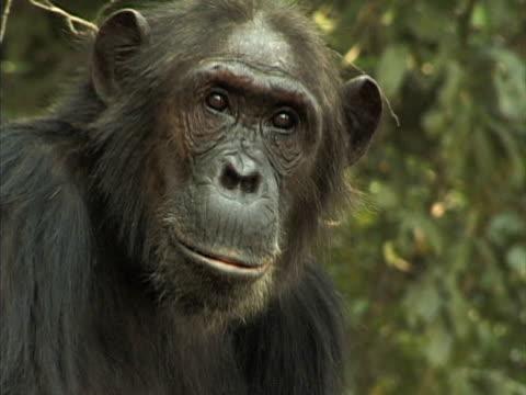 vídeos y material grabado en eventos de stock de cu, adult chimp (pan troglodytes) headshot, gombe stream national park, tanzania - parque nacional de gombe stream