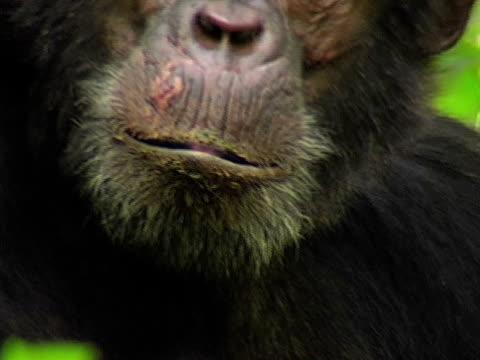 CU, Adult chimp (Pan troglodytes) headshot, Gombe Stream National Park, Tanzania