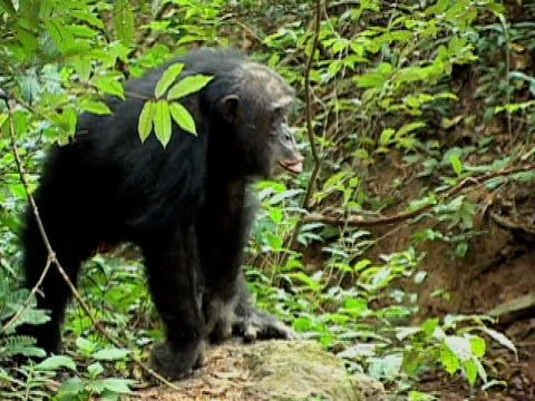 MS, Adult chimp (Pan troglodytes) in forest, Gombe Stream National Park, Tanzania