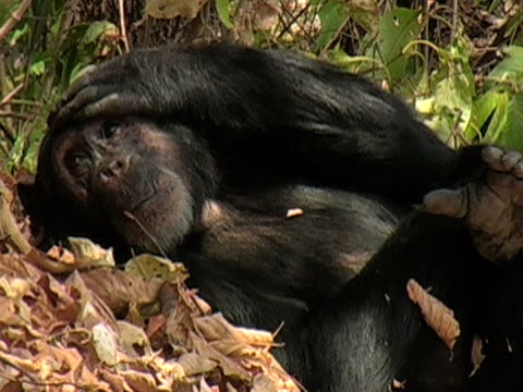 CU, Adult chimp (Pan troglodytes) in forest, Gombe Stream National Park, Tanzania