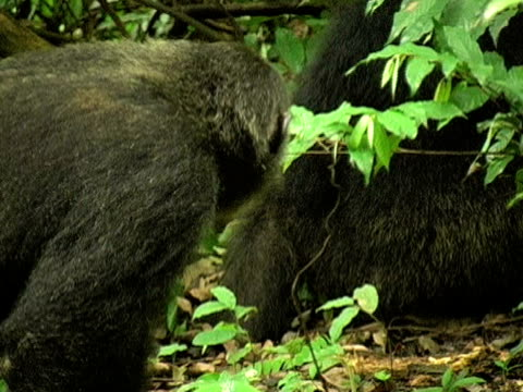 CU, Adult chimp (Pan troglodytes) vocalizing in forest, Gombe Stream National Park, Tanzania