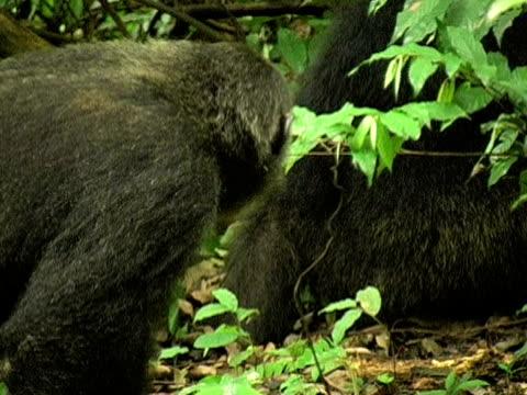 vídeos y material grabado en eventos de stock de cu, adult chimp (pan troglodytes) vocalizing in forest, gombe stream national park, tanzania - parque nacional de gombe stream