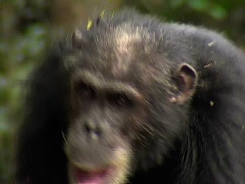 vídeos y material grabado en eventos de stock de cu, adult chimp (pan troglodytes) walking, headshot, gombe stream national park, tanzania - parque nacional de gombe stream